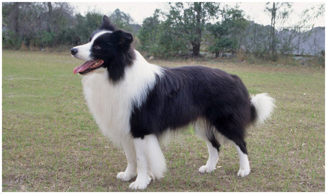 Border Collie Puppies Pictures Diet Breeding Facts