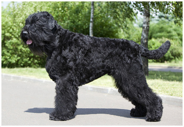 Black Russian Terrier - Puppies, Facts, Breeders, Pictures