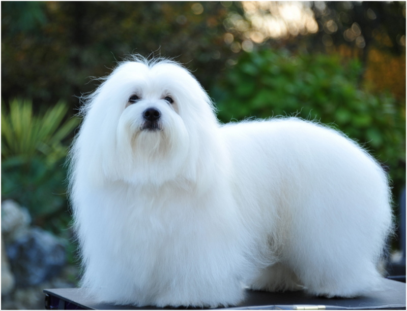 Coton De Tulear Facts Pictures Temperament Price