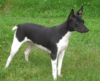 Toy Fox Terrier Westminster Dog Show