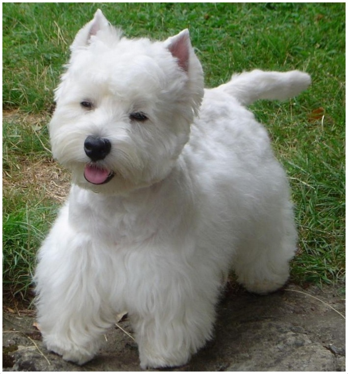 West Highland White Terrier Breeders Puppies Pictures