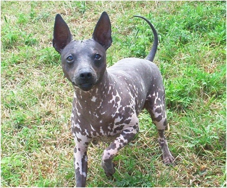 Image result for images of the American Hairless Terrier