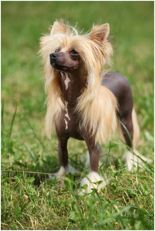 Chinese Crested Dog Facts Puppies Breeders Pictures