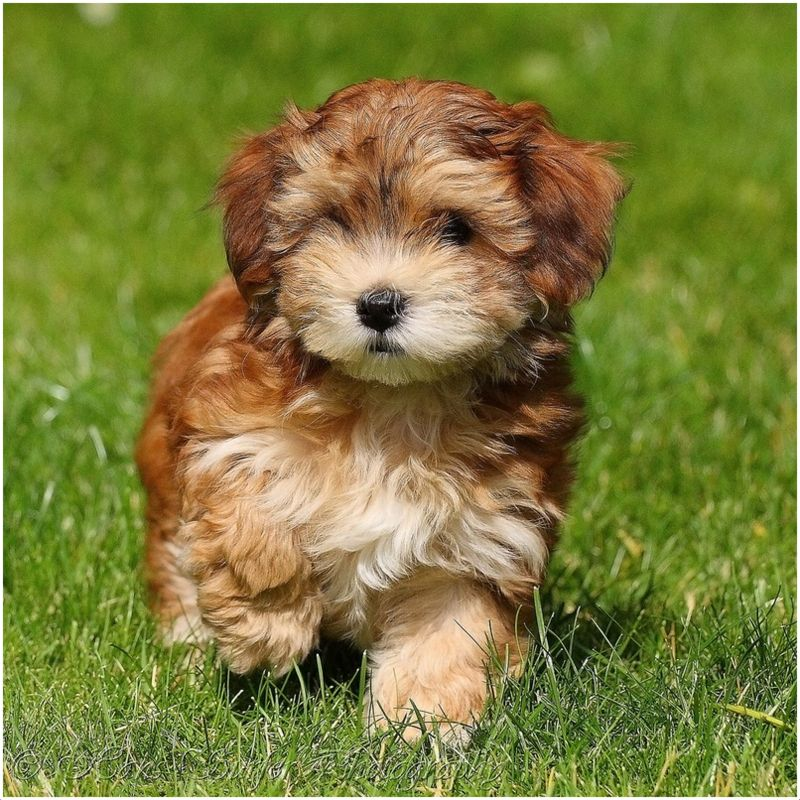 Havanese (Dog) - Puppies, Breed, Facts, Pictures, Price ...
