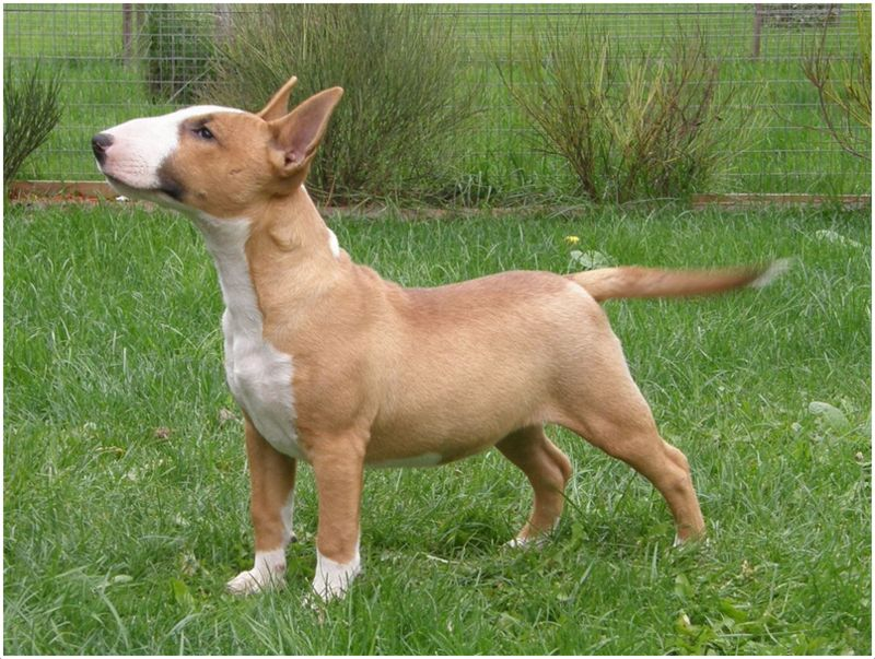Miniature Bull Terrier Facts Pictures Puppies