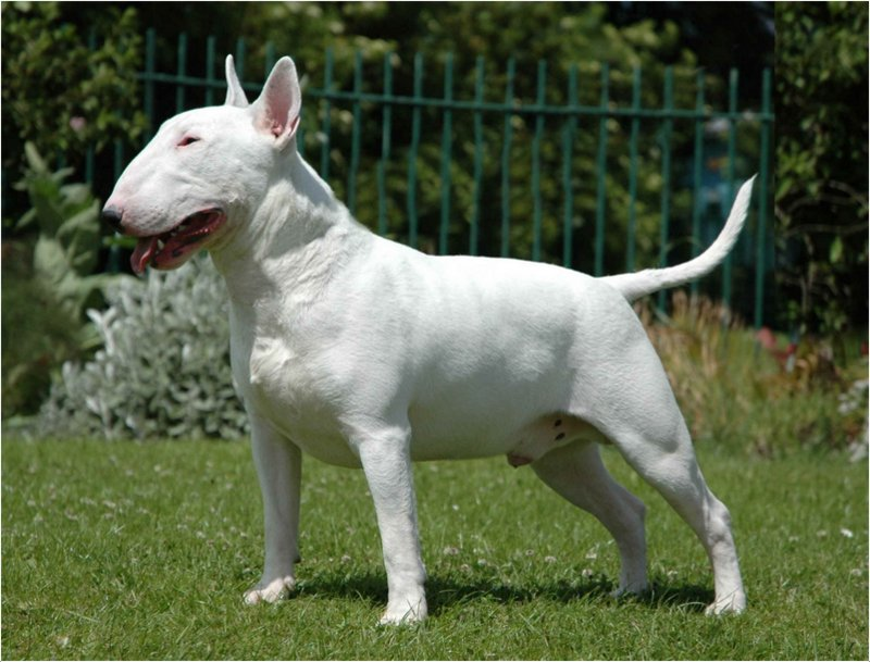Miniature Bull Terrier - Facts, Pictures, Puppies
