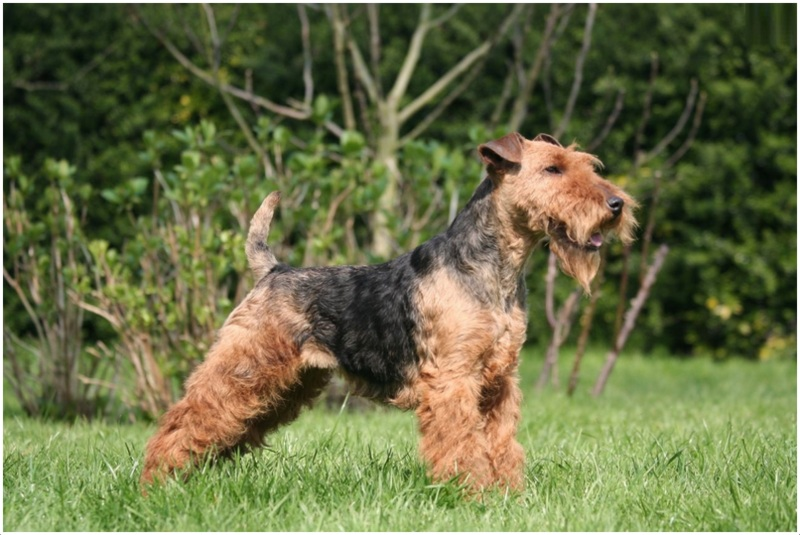 Welsh Terrier Puppies Breeders Facts Pictures