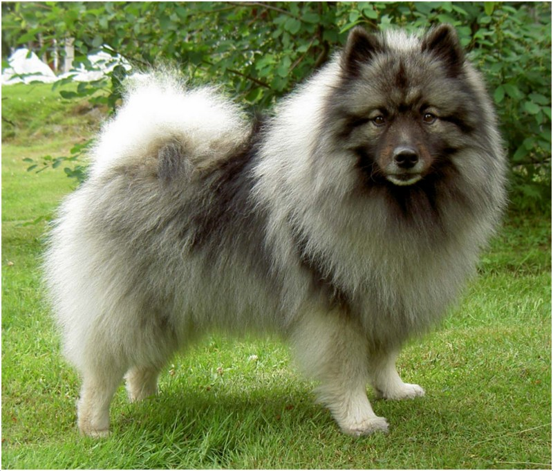 Keeshond Puppies Breeders Facts Pictures Price
