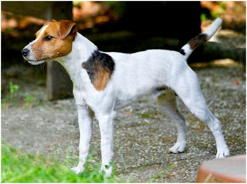 This Parson Russell Terrier