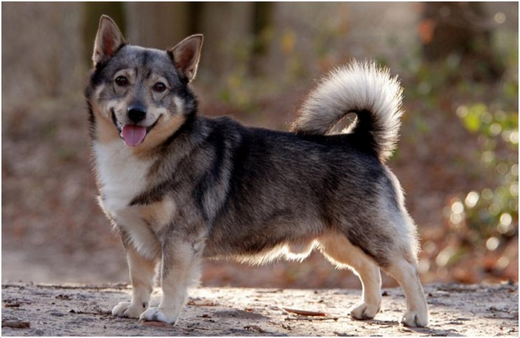 Swedish Vallhund Facts Pictures Breeders Puppies