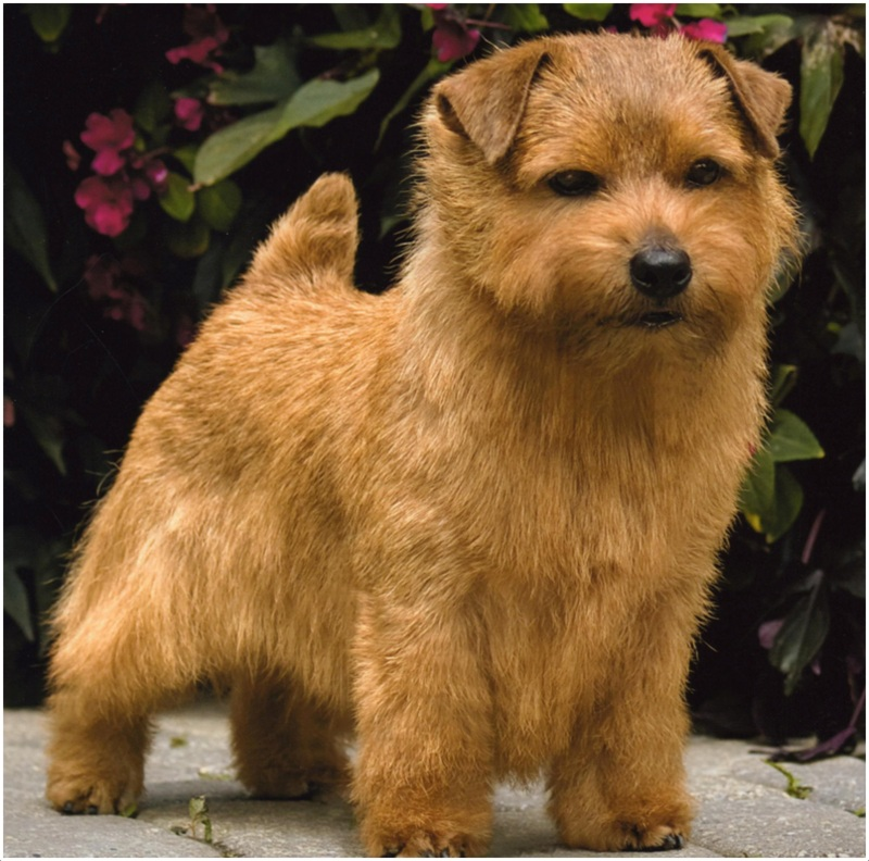 Norfolk Terrier - Facts, Pictures, Puppies, Price