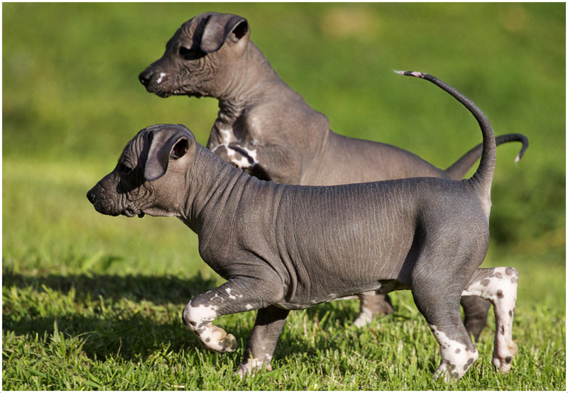 Mexican Hairless Dog Information Dog Breeds At Newpetowners