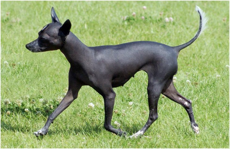 Mexican Hairless Dog (Xoloitzcuintle) - Facts, Pictures ...