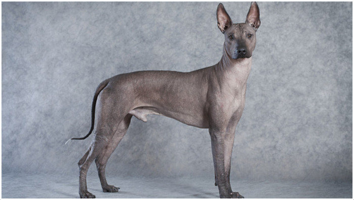 Mexican Hairless Dog (...