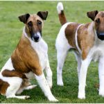 Smooth Fox Terrier