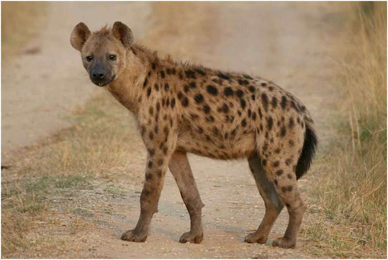 Hyena - Facts, Pictures, Information, Food, Behavior, Lifecycle ...