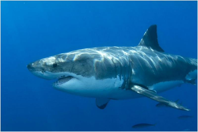 images of great white sharks - photo #5