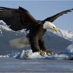 Bald Eagle – Facts For Kids, Pictures, Diet, Habitat, Information