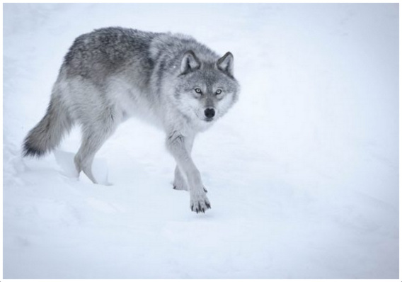 characteristics of wolves A woman becomes a she-wolf out of necessity to survive in the  i have  endeavored to come up with some characteristics that will help identify.