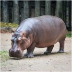 Hippopotamus – Facts, Pictures, Diet, Habitat, Behavior, Characteristics