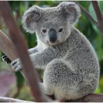 Koala (Bear) – Interesting Facts For Kids, Pictures, Habitat, Diet, Behavior