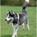 Alaskan Husky – Facts, Pictures, Puppies, Breeders, Characteristics, Diet