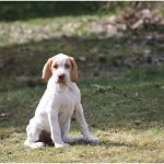 Ariege Pointer – Facts, Pictures, Diet, Information