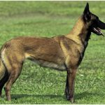 Belgian Malinois – Facts, Pictures, Puppies, Characteristics, Temperament, Breeders