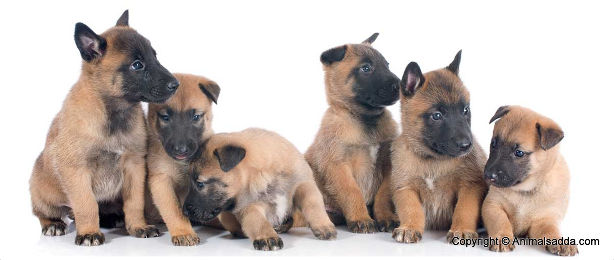 Belgian Malinois Facts Pictures Puppies Temperament