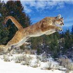 Cougar (Mountain Lion) – Facts, Pictures, Diet, Habitat, Predators