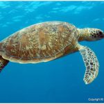 Green Turtle – Facts, Pictures, Diet, Habitat, Predators, Lifecycle