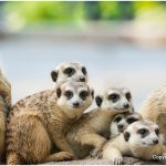 Meerkat – Facts, Pictures, Behavior, Diet, Appearance, Characteristics