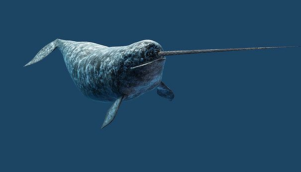 Narwhal - Facts, Pictures, Habitat, Behavior, Appearance ...