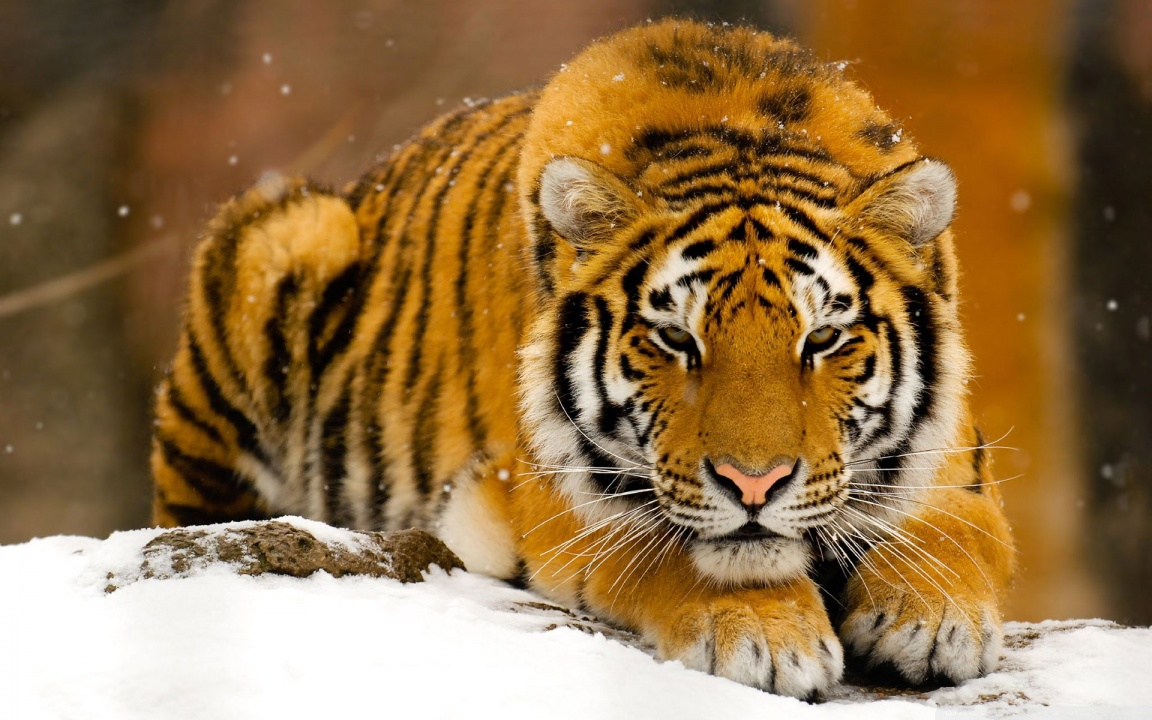 Siberian Tiger (Amur Tiger) - Facts For Kids, Pictures ...