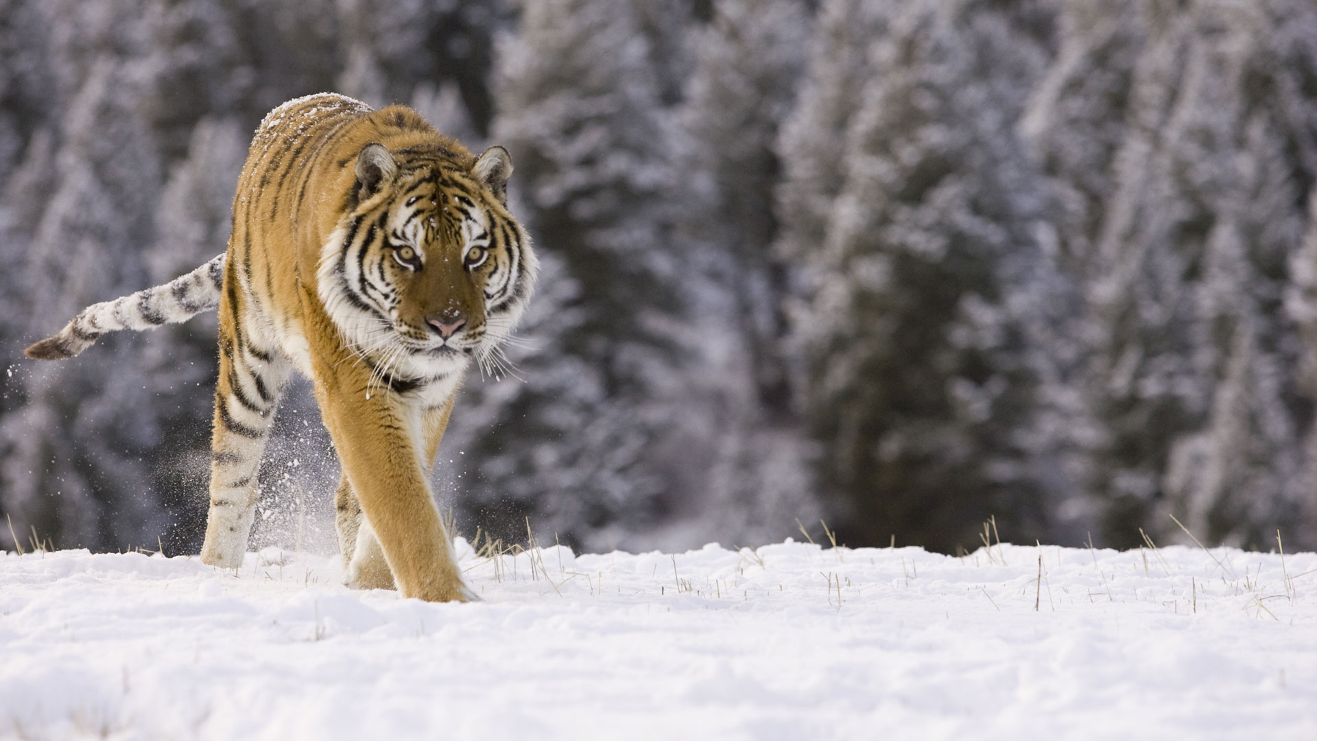 Siberian Tiger Amur Tiger Facts For Kids Pictures