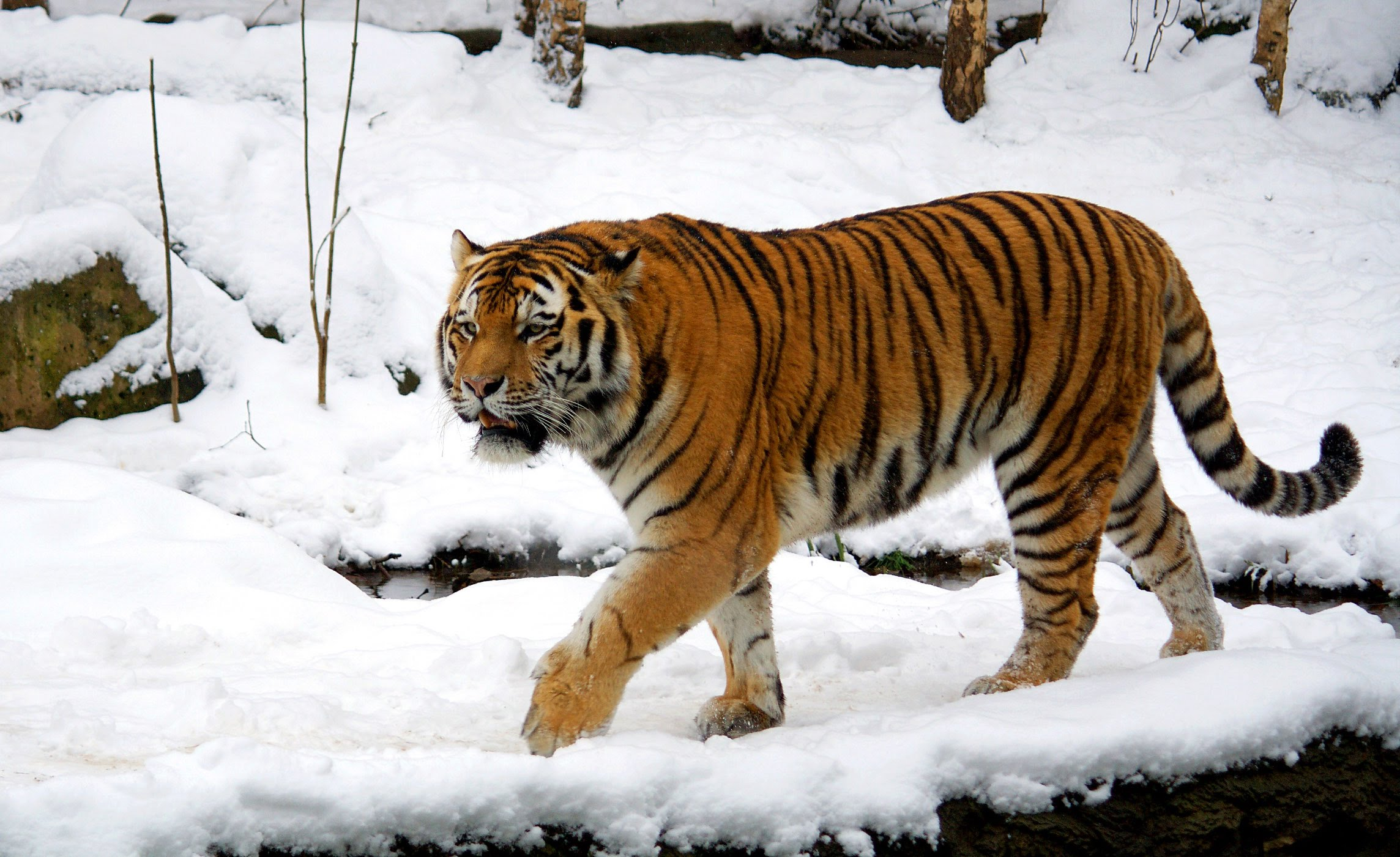 tigers distribution traits and characteristics Introduction tigers (and all other carnivores) have descended from miacids that lived during the ice-age approximately 37 cat species exist today, including panthera tigris, the tiger.