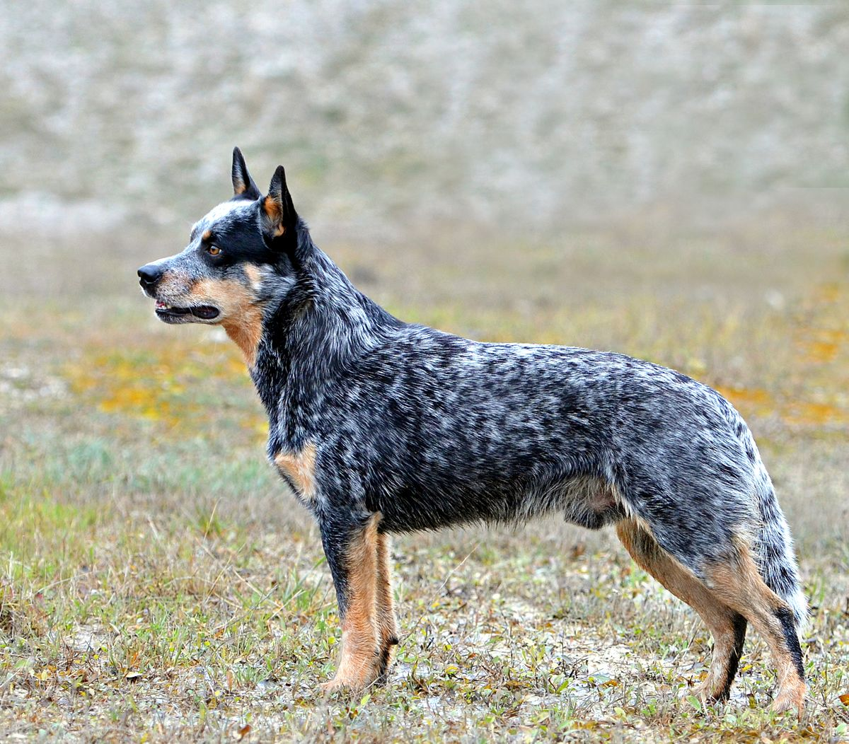 Pictures Of Blue Heeler Dog Breed