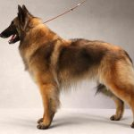 Belgian Tervuren – Facts, Pictures, Puppies, Temperament, Breeders