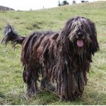 Bergamasco – Facts, Pictures, Puppies, Temperament, Breeders, Price, Grooming