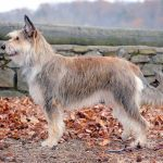 Berger Picard – Facts, Pictures, Puppies, Temperament, Breeders, Grooming