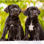 Cane Corso – Facts, Pictures, Puppies, Temperament, Breeders, Price