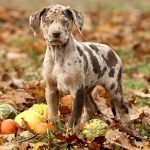 Catahoula Cur (Catahoula Leopard) – Facts, Pictures, Puppies, Temperament, Breeders