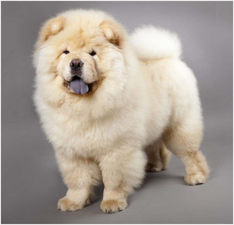Chow Chow Facts For Kids Pictures Puppies Temperament