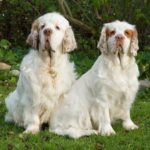 Clumber Spaniel – Facts, Pictures, Puppies, Temperament, Breeders, Price