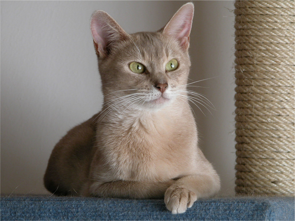 Abyssinian Cat Information