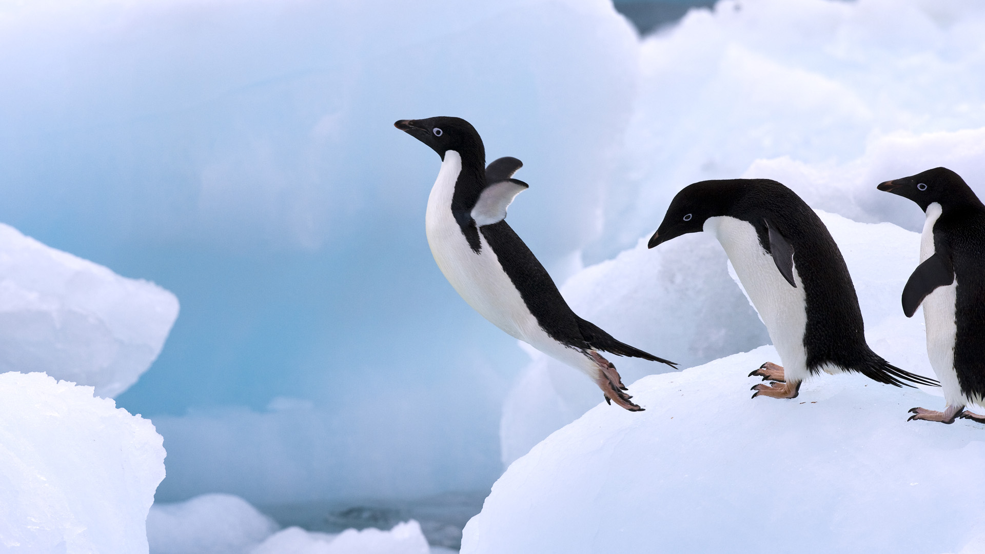 an analysis of the penguin animal species Adélie penguin courtship, mating and chick hatching - view incredible adélie  penguin videos  iucn red list species status – near threatened  the adélie  penguin displays 'natal philopatry', meaning that, under normal circumstances,    .