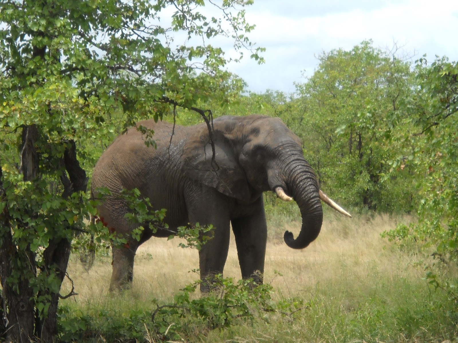 the african bush elephant The african forest elephant is one of two elephant subspecies found on the african continent although the african forest elephant is slightly smaller than the african bush elephant, it is still one of the largest animals found on land today.