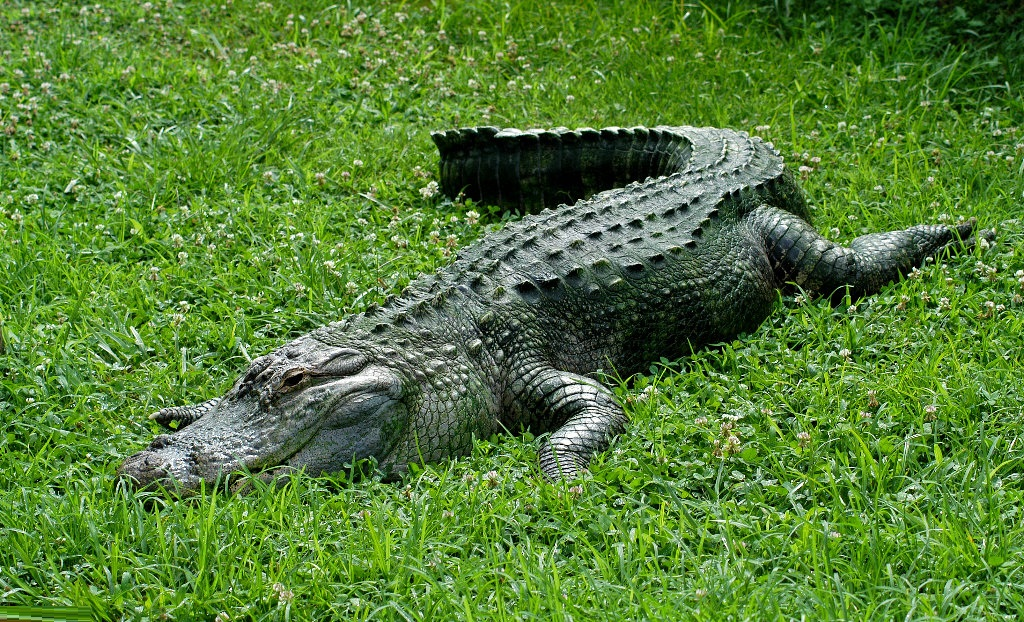 the life cycle food and habitat of the alligator mississippiensis Alligator management programs implemented by fwc emphasize the conservation of alligator populations for their ecological, aesthetic, and economic values while providing for public use and safety facts and information.