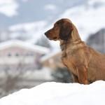 Alpine Dachsbracke