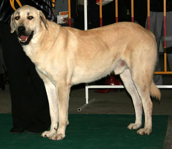 Anatolian Shepherd Dog Diet Pictures Breeding Facts
